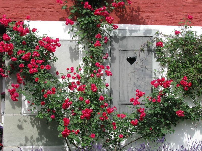 Rosas Rhin